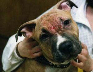 Демодекоз у собак что это такое и как его лечить