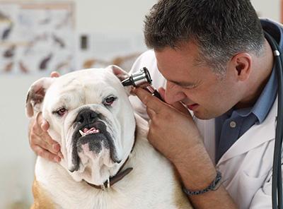 Как ухаживать за больными глазами и ушами собак