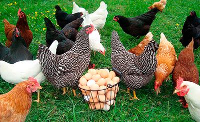 Куры несушки. Воспаление яйцевода. Лечение и профилактика